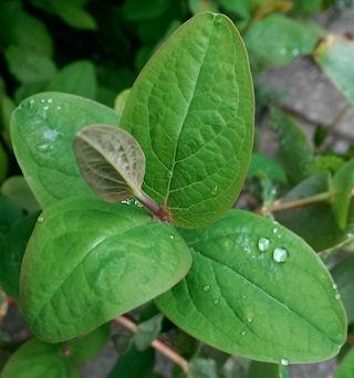 RaindropPlant