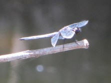 Double-ringed Pennant