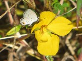 eastern-tailed-blue-butterfly-on-partridge-pea