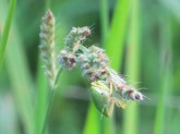 southern-green-stink-bug