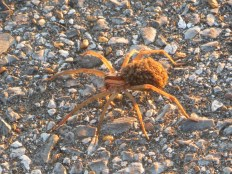 spider-with-spiderlings-on-her-back