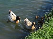 duck family3