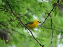 Prothonotary Warbler5