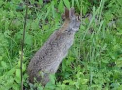 Rabbit 4