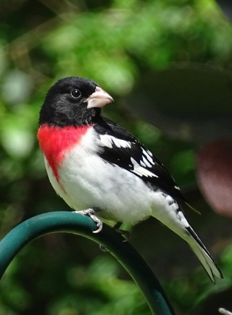 Rose-breasted grosbeak1