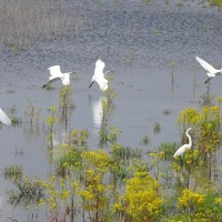 A colony of Great Egrets