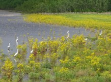 colony of great egrets2