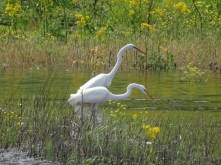 great egrets 7