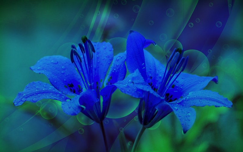 blue lilly_800_500