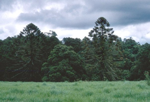 Bunya pine photos by Wayne Harris from the Queensland Environment and Heritage Protection website.
