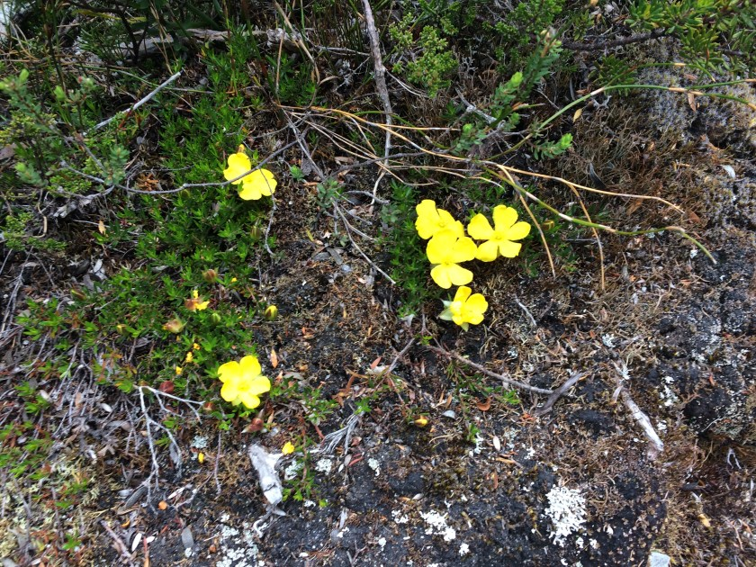 Plants found at Dove Lake Circuit, Cradle Mountain-Lake St Clair National Park