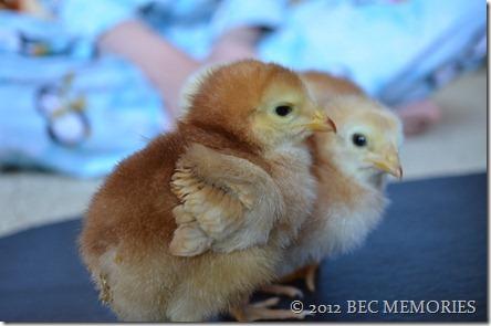 Chick Love