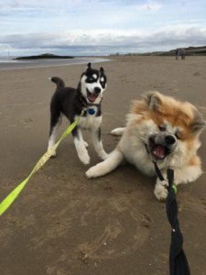 Husky and Akita on the beach