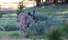 496 Deer at Evolution Valley