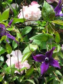 Hyde Hall, rose & clematis pyramids