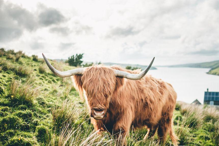 Isle of Skye Highland Coo Fringe