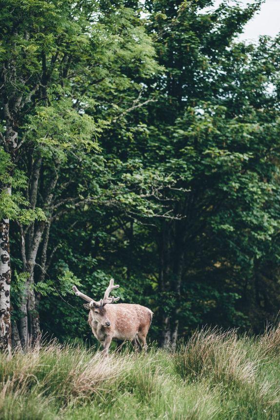 Scotland Applecross Deer in the Woods