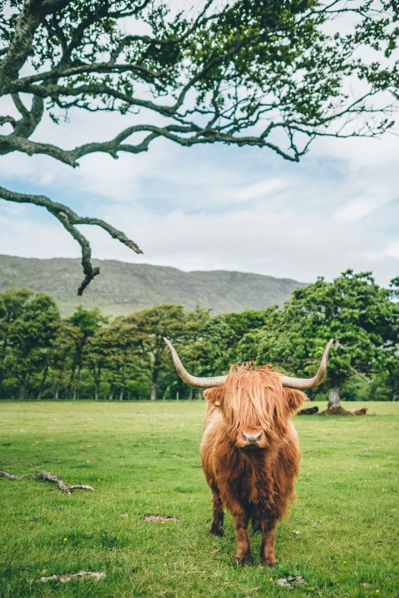 Scotland Applecross Highland Coo Majestic