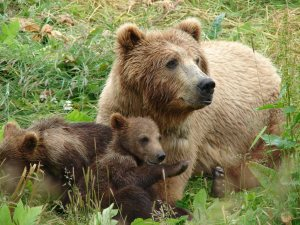Mama bear with cubs