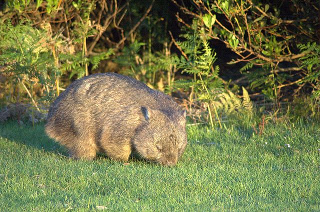 Wombat (Source: Wikipedia)