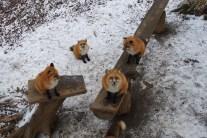 等待零食的狐狸們
