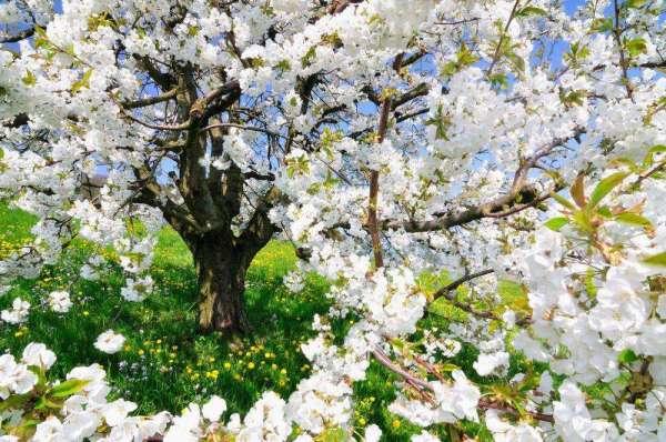 Фотообои Цветущее дерево 3167 купить в Украине | Интернет ...