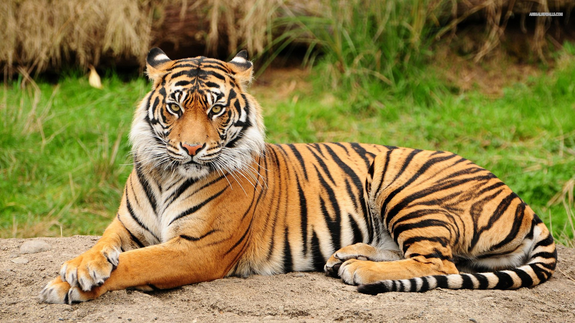 Tiger Hd Wallpapers 1920x1080 Group 92
