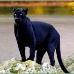 Black Jaguar Wallpapers Group 73