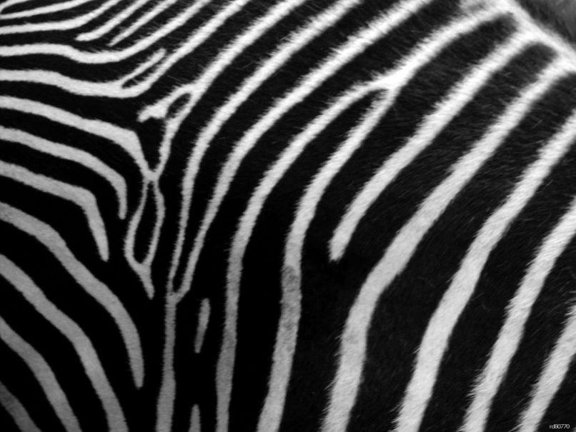 Zebra Desktop Wallpapers Group 80 Animal Print Hd Wallpaper