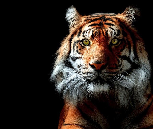Tiger Hd Wallpapers Backgrounds Wallpaper Abyss
