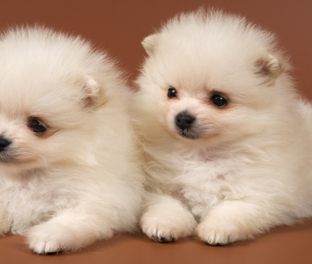 Pomeranian Puppies Hd Desktop Wallpaper High Definition Mobile