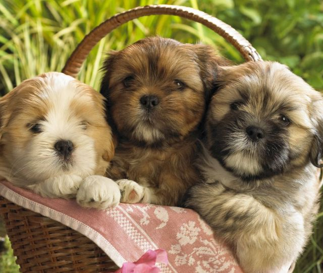 Cute  Puppies Wallpaper Free Hd Wallpapers For Desktop Ipad