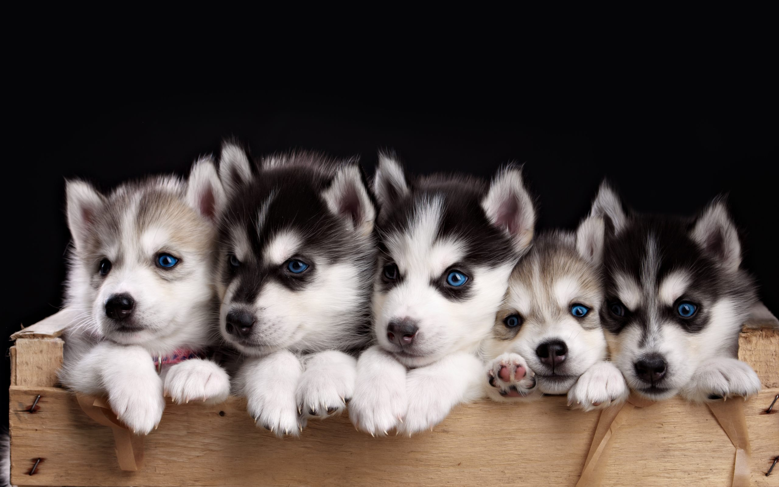 Puppy Wallpapers Free Group  83   Husky Puppies Wallpaper HD For Desktop Of Miniature Husky