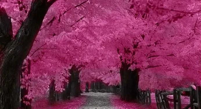55 Japanese Cherry Blossom Wallpaper 1920 1080