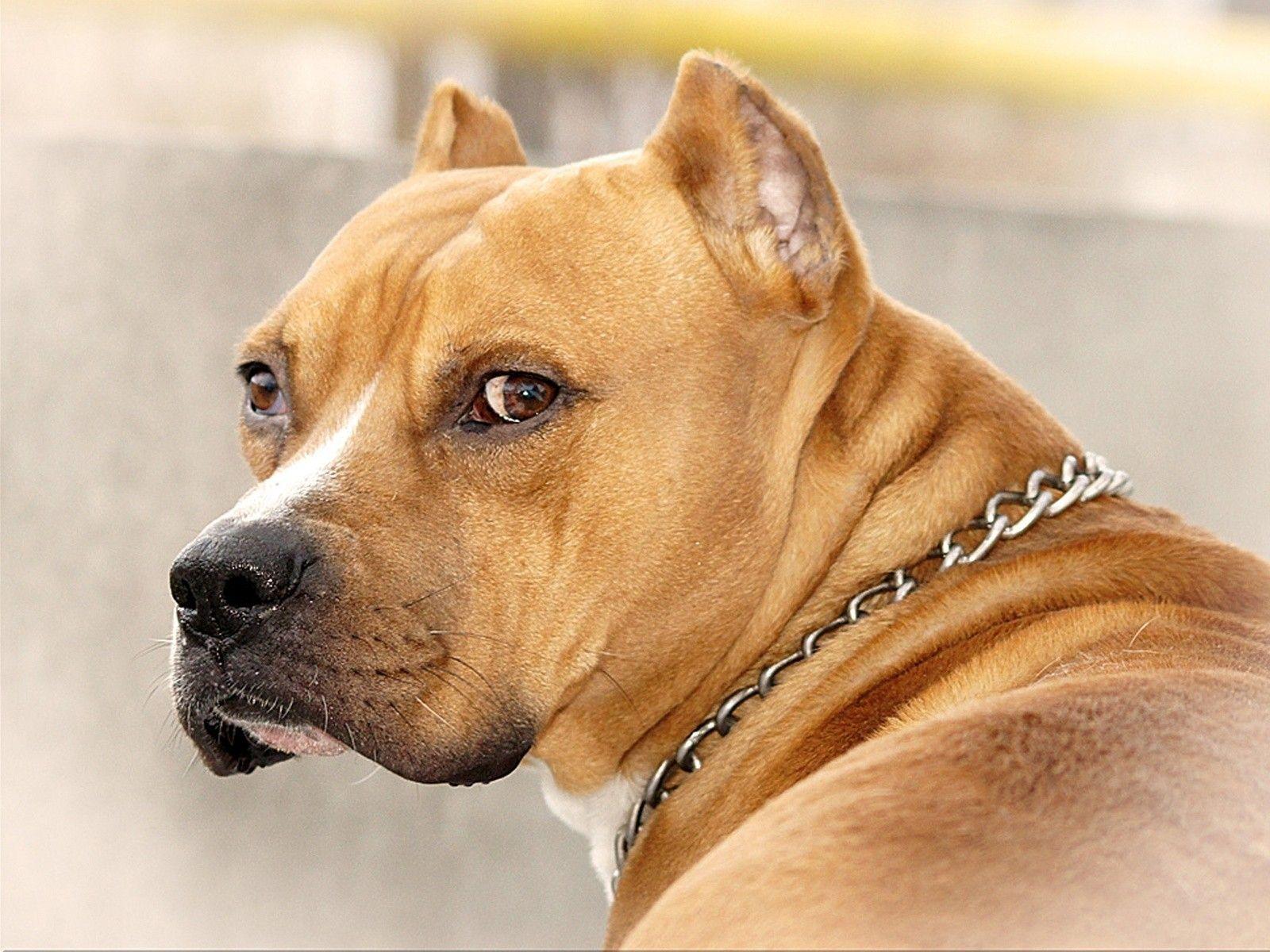 Pitbull dog hd wallpapers 1080p dog labrador 2121819. Neon Pitbull Wallpapers On Wallpaperdog