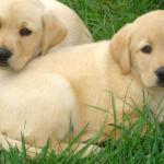Labrador Wallpapers Top Free Labrador Backgrounds Wallpaperaccess