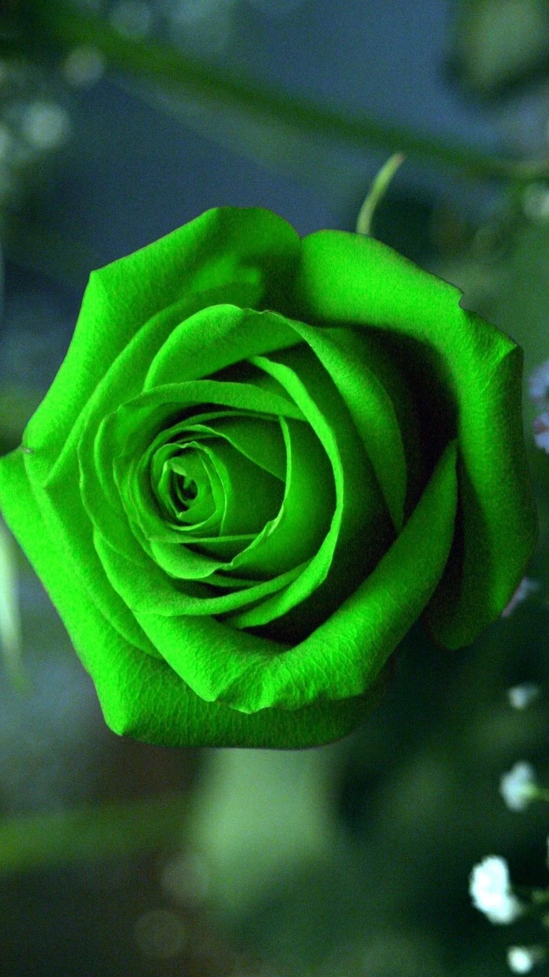 Green Rose Wallpapers Top Free Green Rose Backgrounds Wallpaperaccess