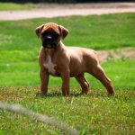 Boxer Dog Wallpapers Top Free Boxer Dog Backgrounds Wallpaperaccess