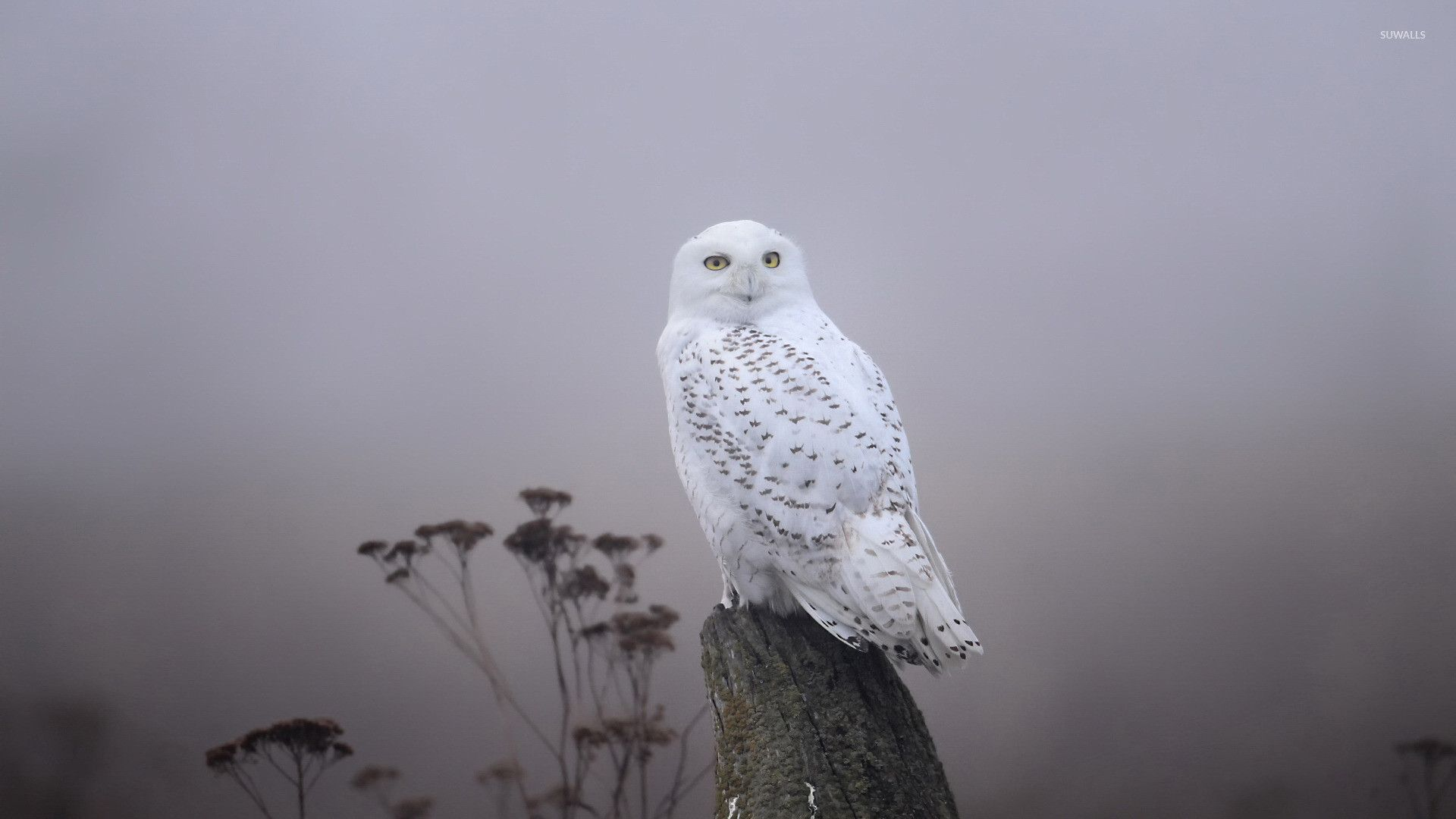 White Owl Wallpapers Top Free White Owl Backgrounds Wallpaperaccess