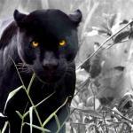 Black Jaguar Animal Wallpapers Top Free Black Jaguar Animal Backgrounds Wallpaperaccess