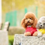 Poodle Wallpapers Top Free Poodle Backgrounds Wallpaperaccess