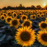 Sunflower Wallpapers Top Free Sunflower Backgrounds Wallpaperaccess