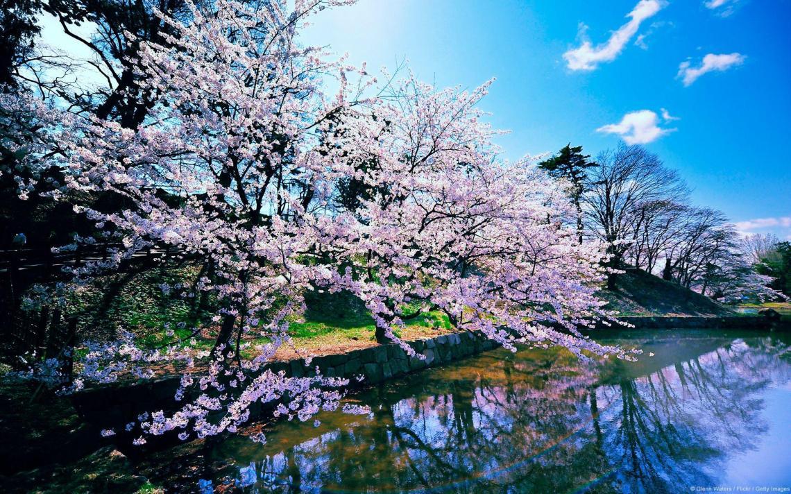 Sakura Tree Wallpapers Top Free Sakura Tree Backgrounds Wallpaperaccess