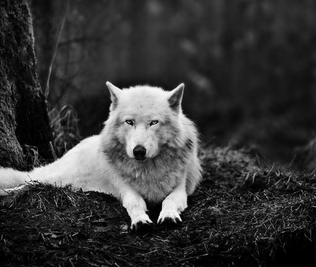 Wolf Wallpapers Full Hd Wallpaper Search Page 8