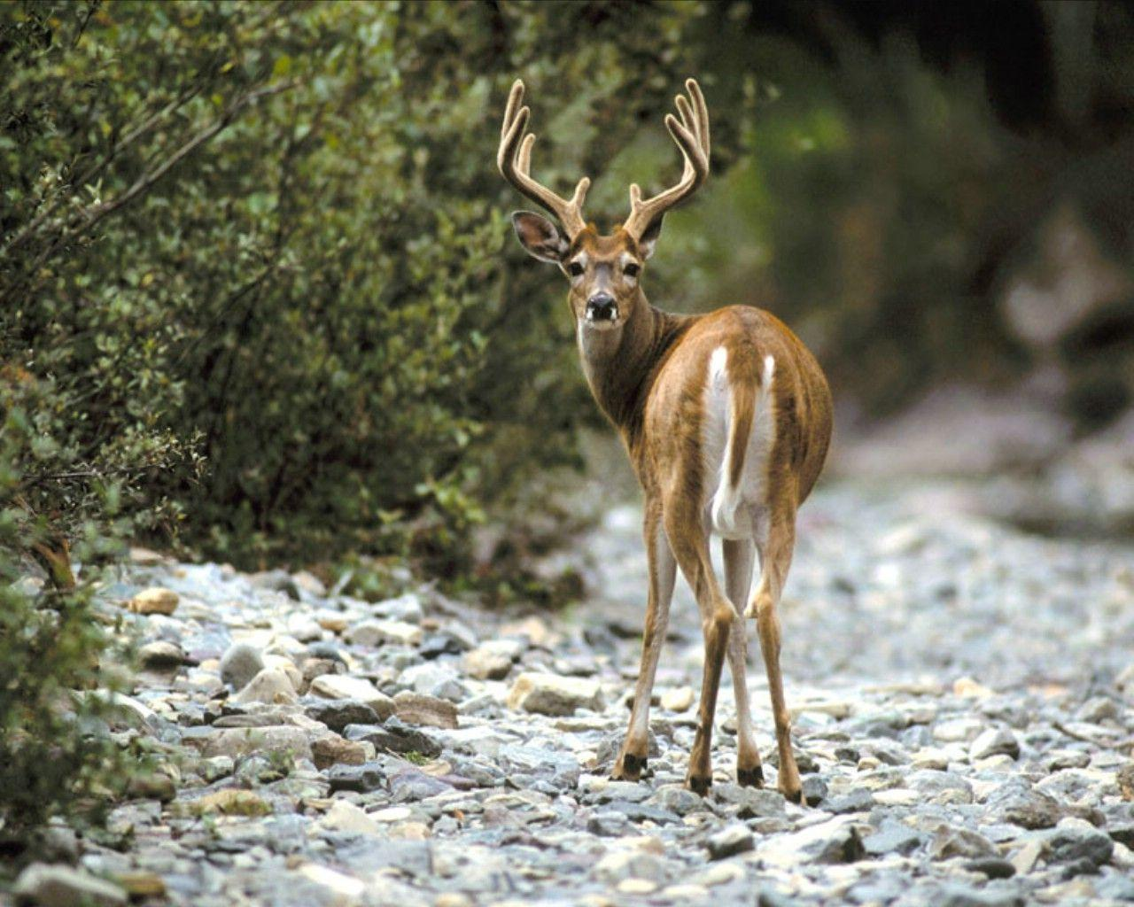Free Whitetail Deer Wallpapers Wallpaper Cave