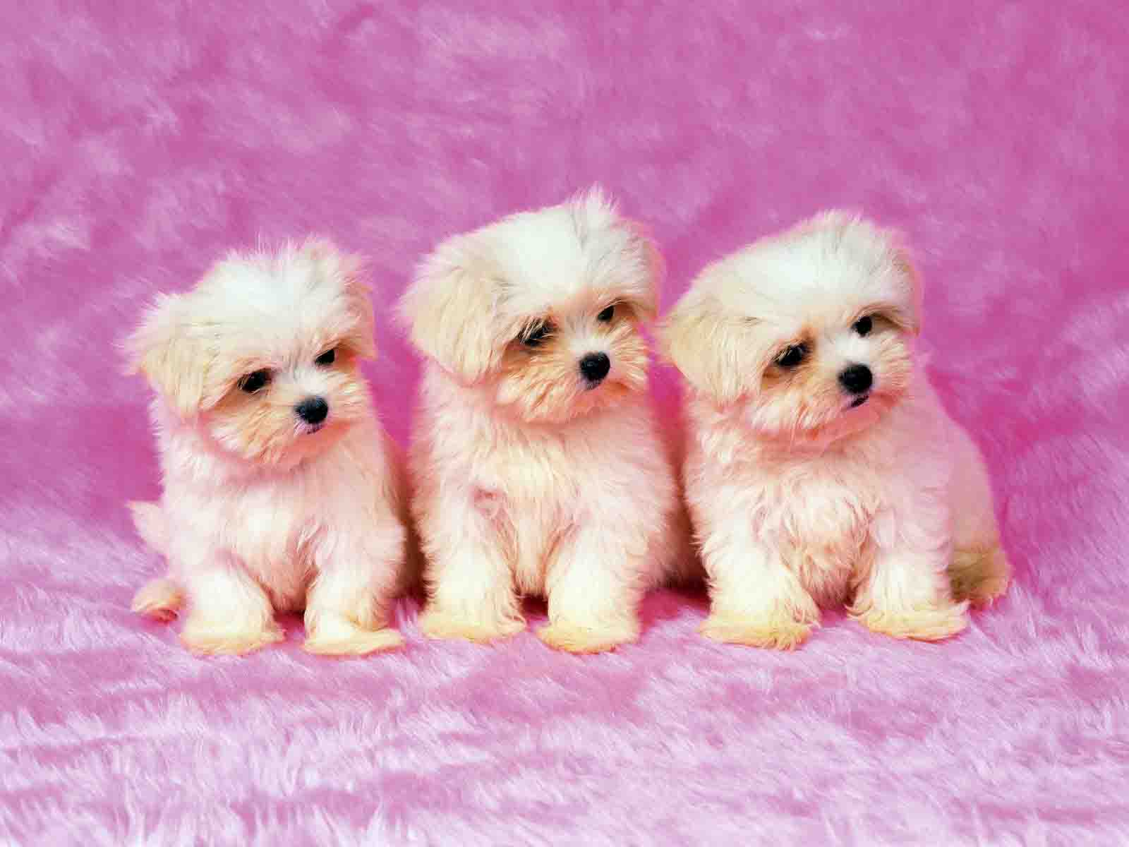 Puppy Backgrounds For Computer   Wallpaper Cave Funny and Cute  CUTE PUPPY HD WALLPAPERS  cute wallpaper desktop