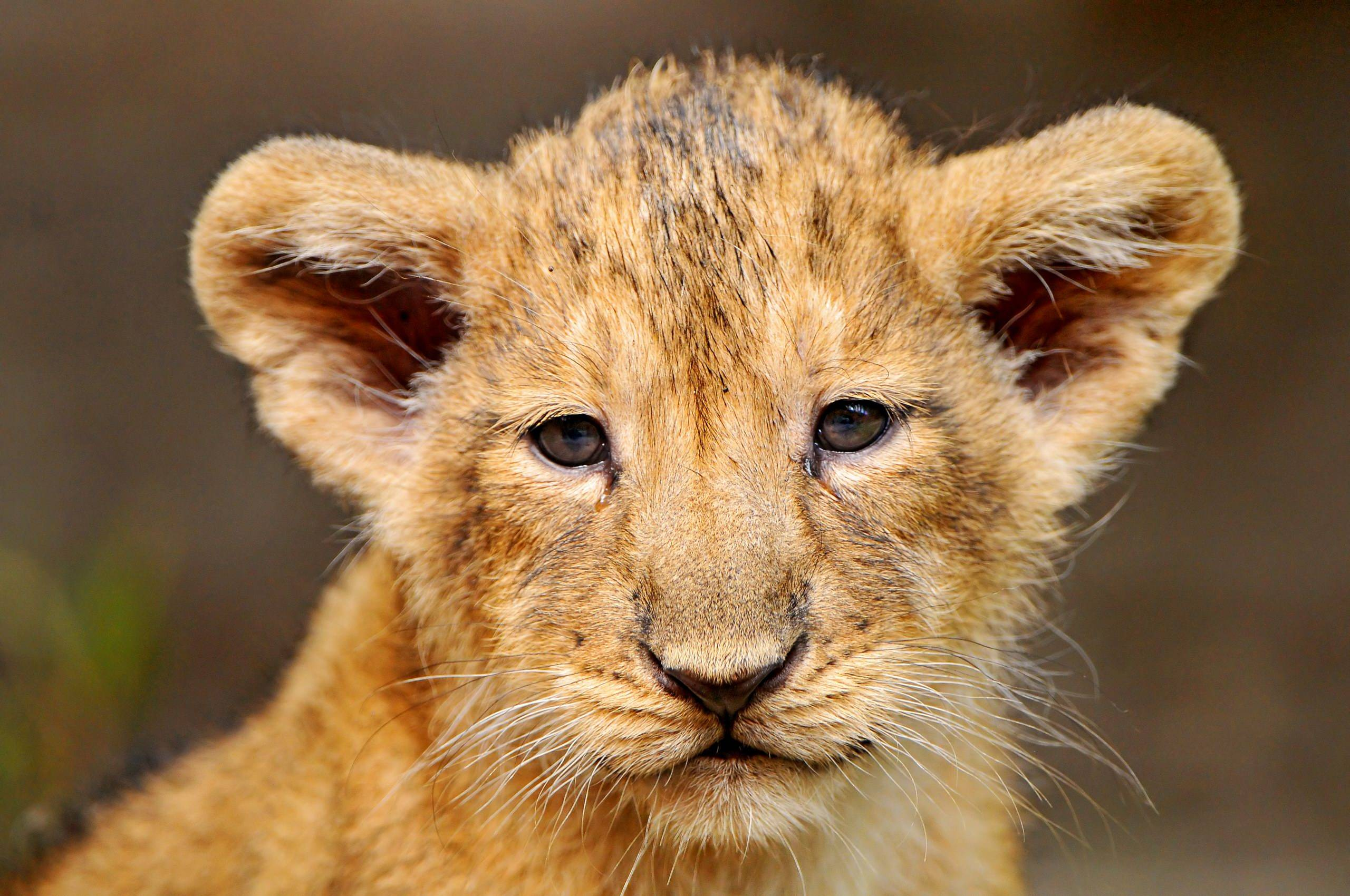 Lion Cub Wallpapers