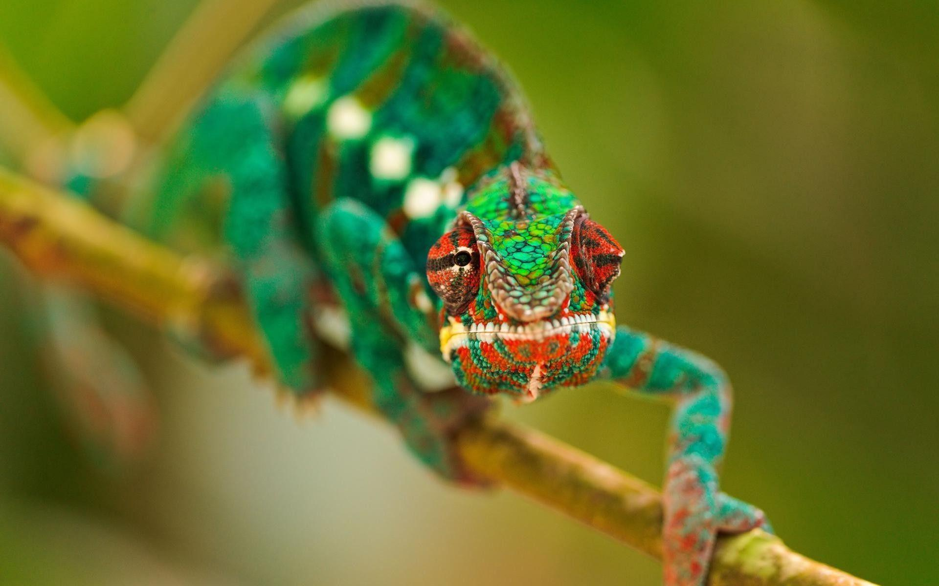 Chameleon Wallpapers Wallpaper Cave