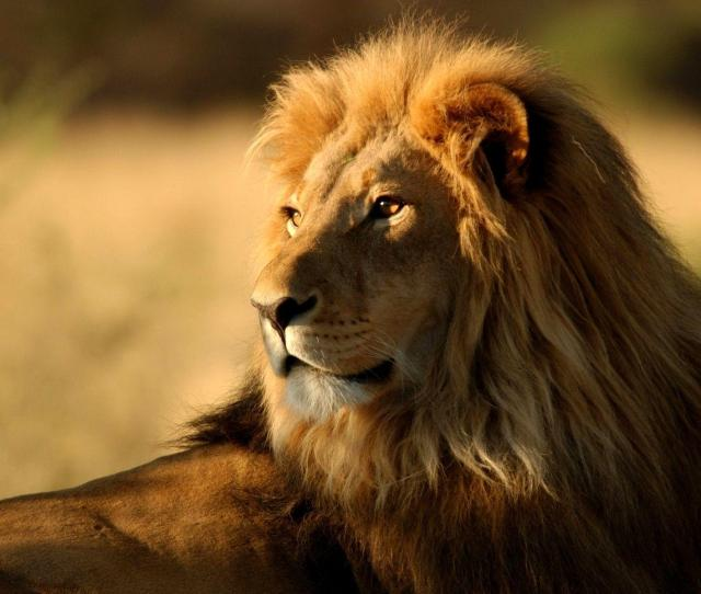 Lion Wallpapers Lion Backgrounds