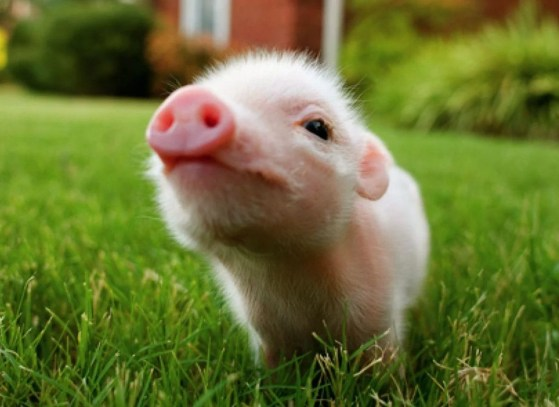 Image result for baby pig